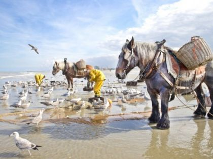 Garnaalvisser te paard Koksijde